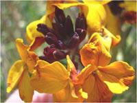 fleur_orange